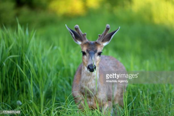 Deer is seen at Grouse Mountain in Vancouver, British Columbia, Canada on June 12, 2020. Grouse Mountain attracts 1.3 million visitors a year.