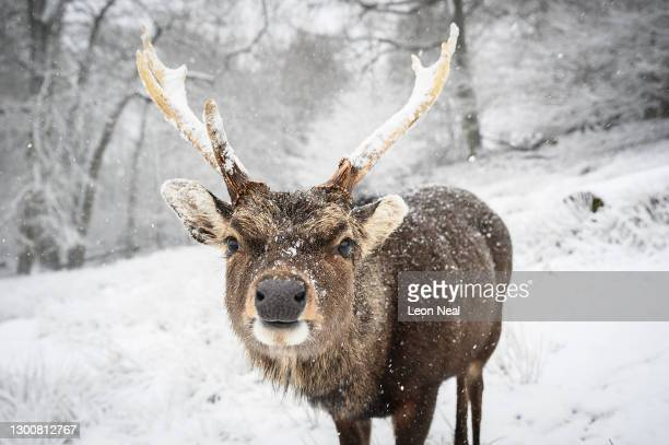 Deer is seen in the snow on Knole Park on February 07, 2021 in Sevenoaks, England. Heavy snow in Scotland and South East England over this weekend...
