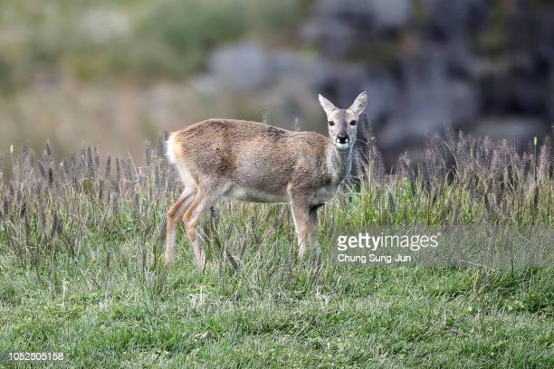 A deer is seen on the 18th hole during the second round of the CJ Cup at the Nine Bridges on October 19 2018 in Jeju South Korea