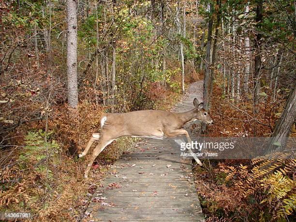 Deer jump in autmn woods