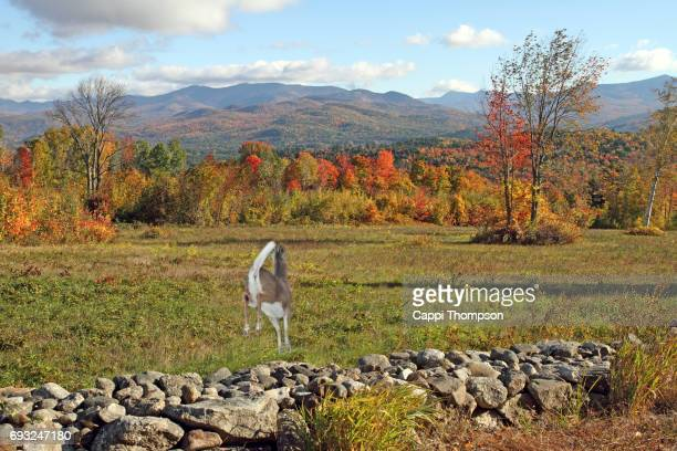 deer jumping a rock wall in new hampshire during autumn - white tail deer stock photos and pictures