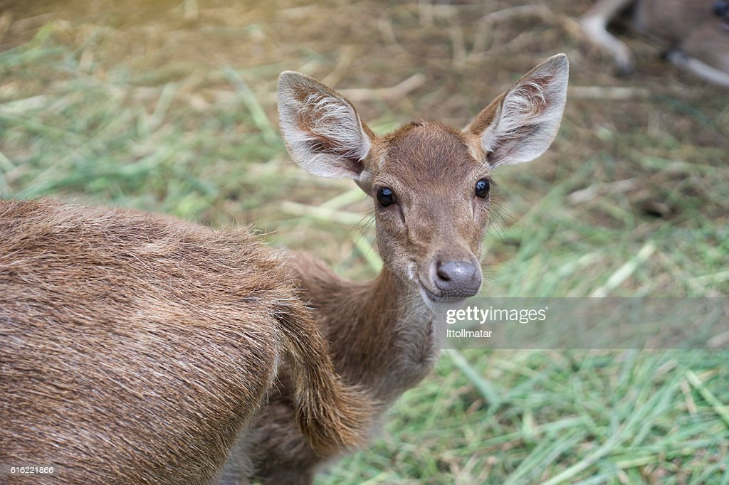 deer kid looked at camera and smile, : Stock Photo