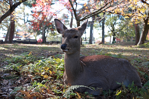 Deer laying down on the grass floor and background autumn tree. Japan. 883455628