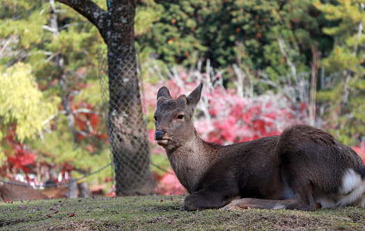 Deer laying down on the grass floor at the park in Nara, Japan. 883041392