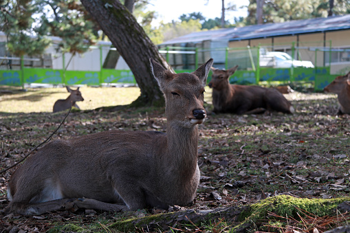 Deer laying down on the grass floor at the park , Japan. 883462924