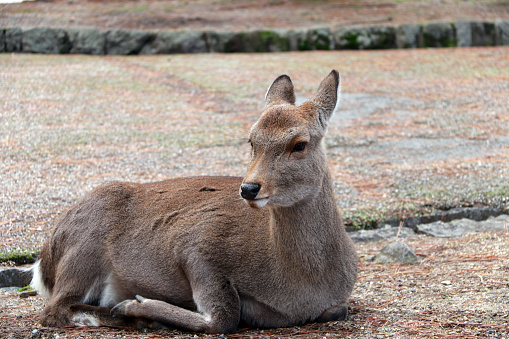 Deer laying down on the grass floor at the park , Japan. 883631384