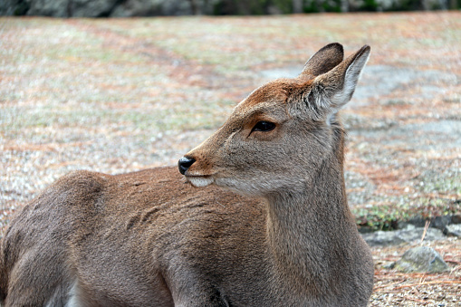 Deer laying down on the grass floor at the park , Japan. 883631540