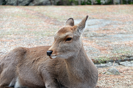 Deer laying down on the grass floor at the park , Japan. 883647190