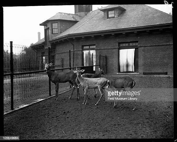 Deer Lincoln Park Zoo Chicago Illinois 1900