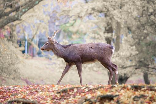 Deer live freely in Nara, Japan. 622895018