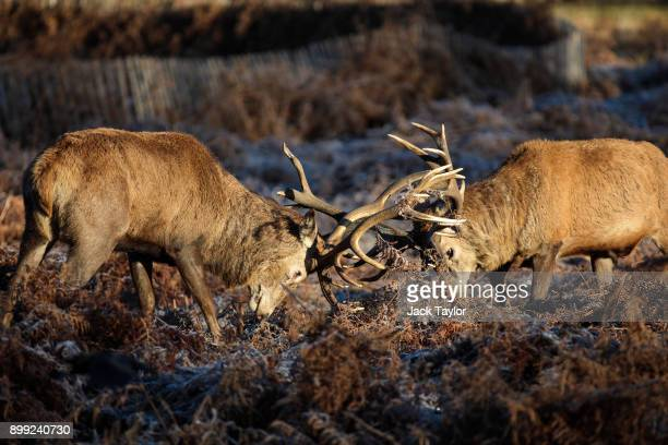 Deer lock antlers in Richmond Park as the sun rises on December 28 2017 in London England A cold spell has hit Britain causing travel disruption at...