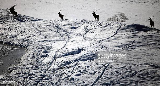 Deer look for food in Glen Clunie on Invercauld Estateon February 18, 2010 in Braemar, Scotland. Many deer are facing starvation due to one of the...