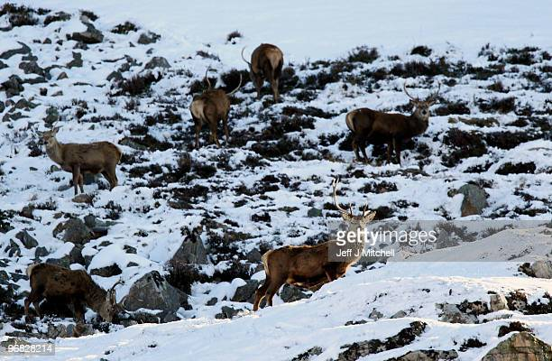Deer look for food in Glen Clunie on Invercauld Estateon February 18 2010 in Braemar Scotland Many deer are facing starvation due to one of the...