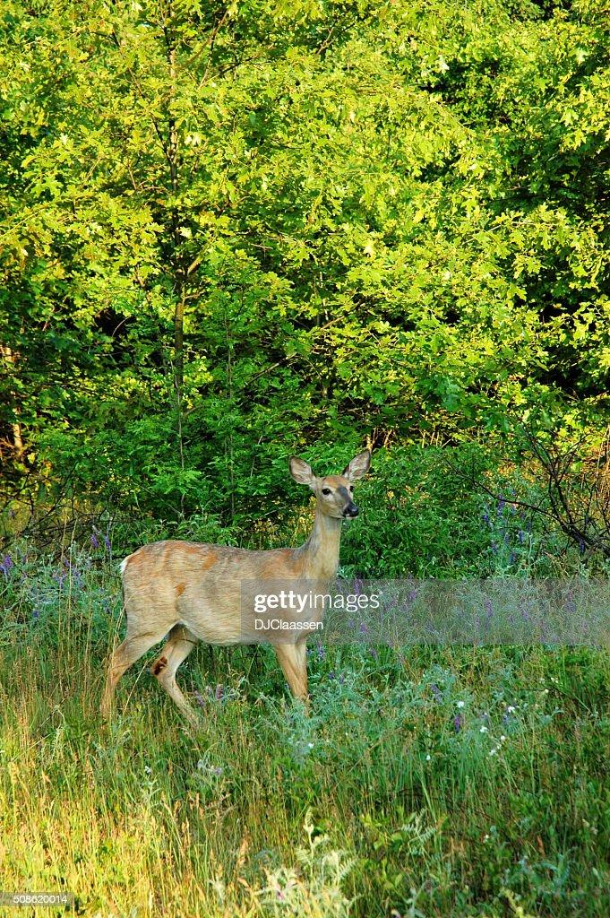 Deer Looking Alert : Stock Photo