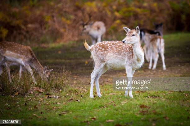 Deer Looking Away While Standing On Grassy Field