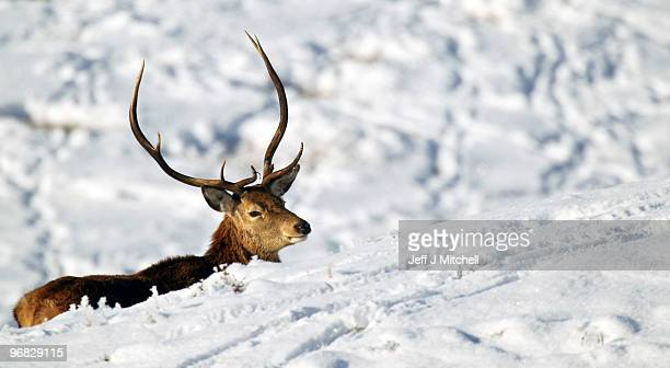 Deer looks for food in Glen Clunie on the Invercauld Estate on February 18, 2010 in Braemar, Scotland. Many deer are facing starvation due to one of...