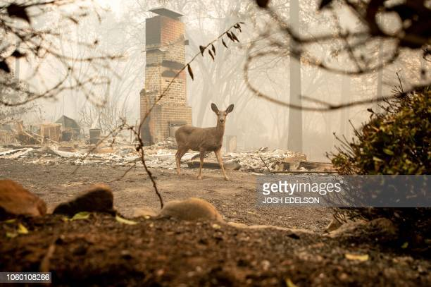 TOPSHOT A deer looks on from a burned residence after the Camp fire tore through the area in Paradise California on November 10 2018 The death toll...