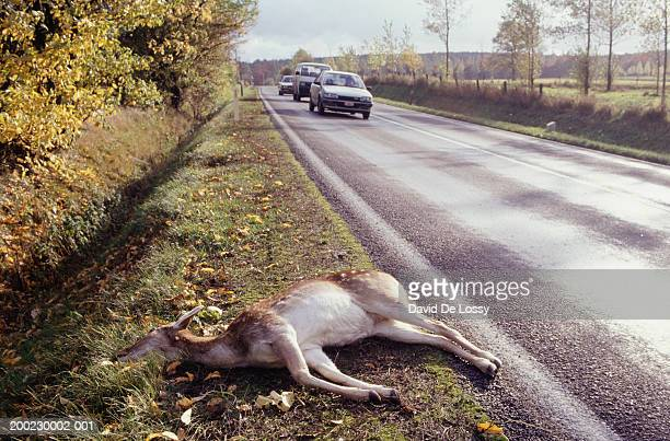 deer lying dead by roadside on grass verge, road kill, cars on road - dead deer stock photos and pictures