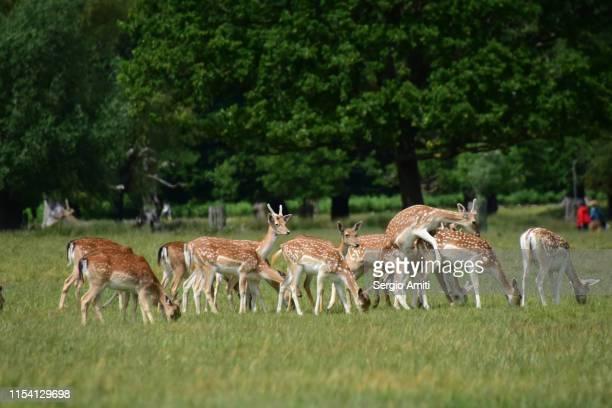 Deer mating in Richmond Park
