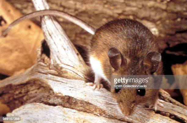 Deer mouse a possible transmitter of the Hantavirus 1990 Image courtesy Centers for Disease Control