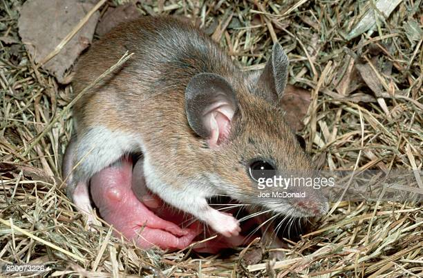 deer mouse nurses young - young animal stock pictures, royalty-free photos & images