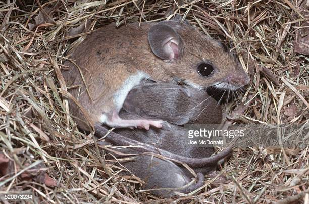 deer mouse nurses young - hjortmus bildbanksfoton och bilder