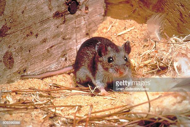 Deer mouse Peromyscus maniculatus a Hantavirus carrier that becomes a threat when it enters human habitation in rural and suburban areas Image...