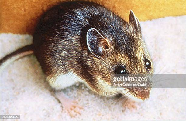 Deer mouse Peromyscus maniculatus Carrier of Sin Nombre virus agent of Hantavirus pulmonary syndrome Image courtesy CDC 1974