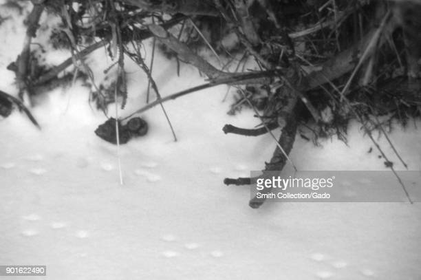 Deer mouse tracks in the snow Estes Park Colorado 1975 Image courtesy Centers for Disease Control