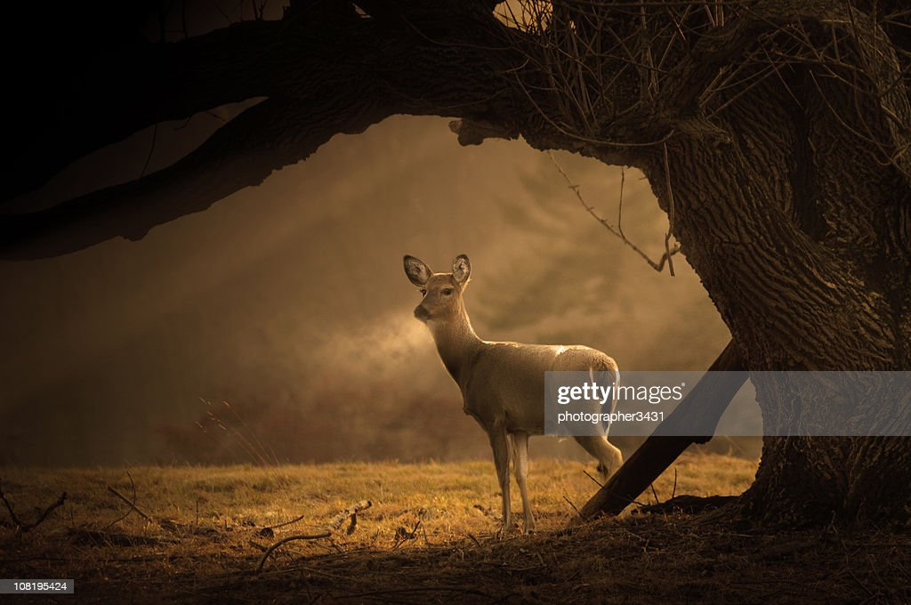 Deer on a cold winter morning : Stock Photo