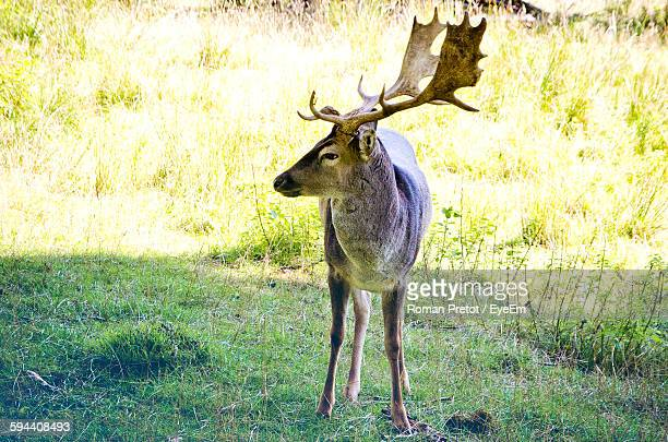 deer on field in forest - roman pretot stock-fotos und bilder