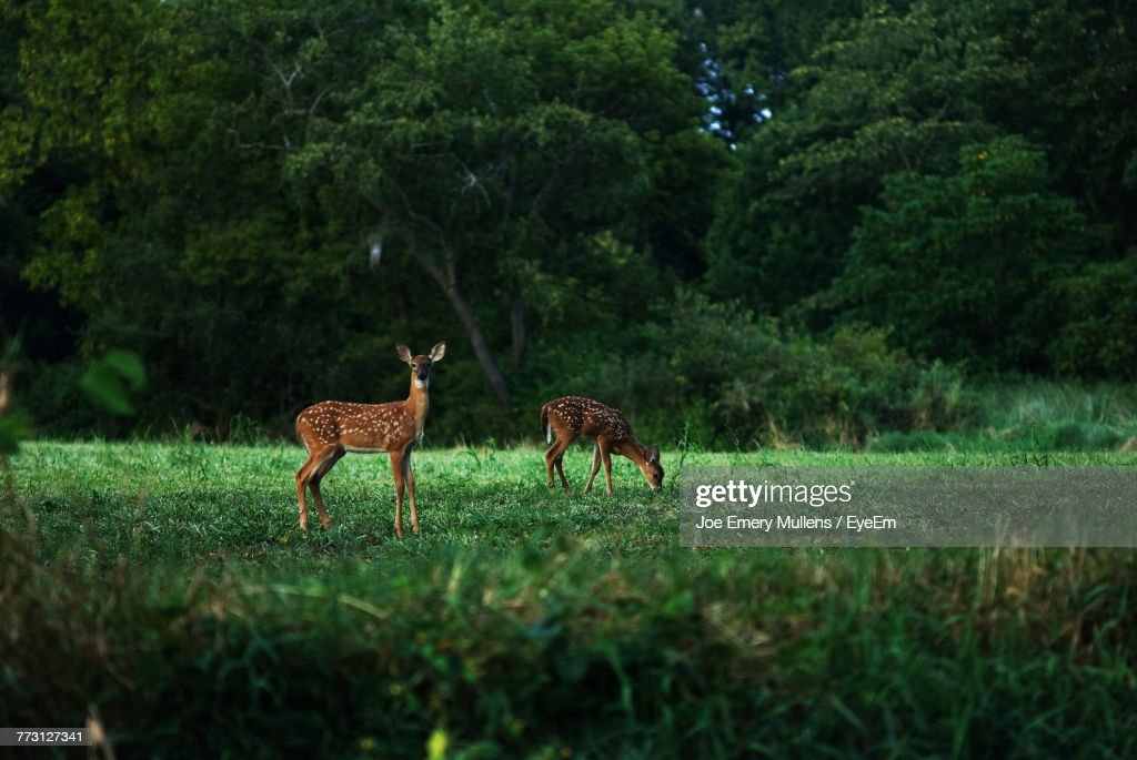 Deer On Grassy Field In Forest : Photo
