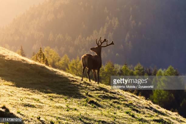 deer on mountain ridge, puez-odle, funes, italy - veado macho - fotografias e filmes do acervo