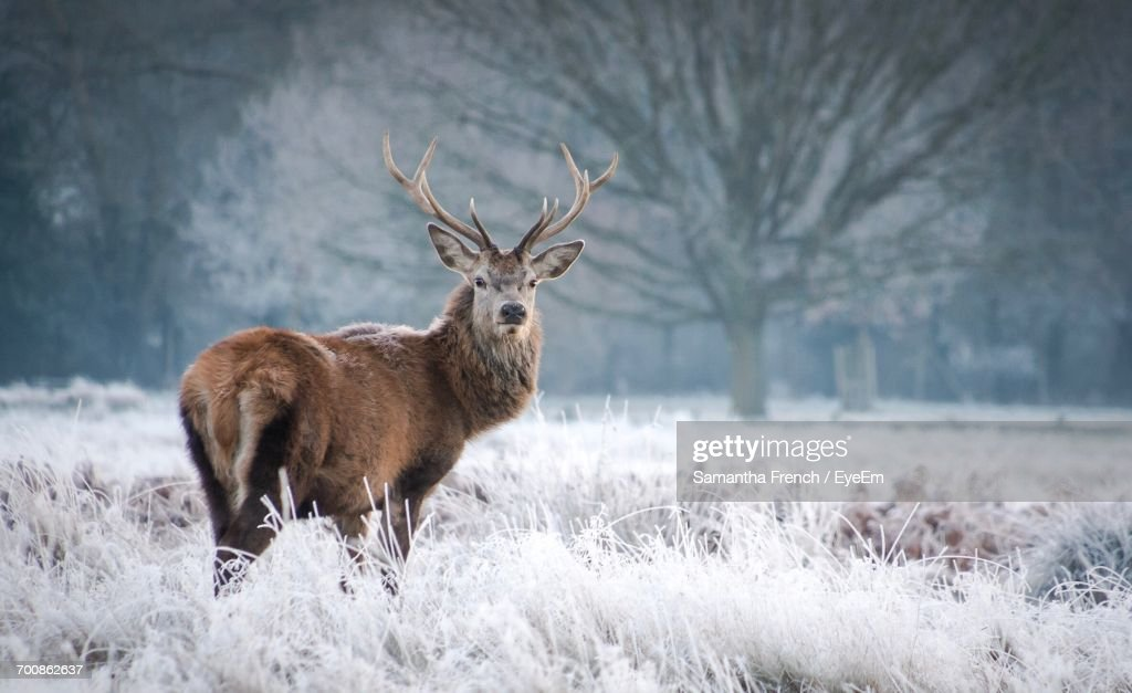 Deer On Snow Covered Field : Stock Photo
