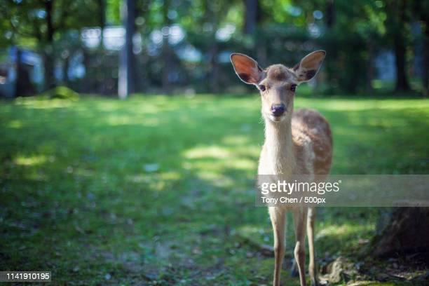 deer on the street of nara - 奈良市 ストックフォトと画像