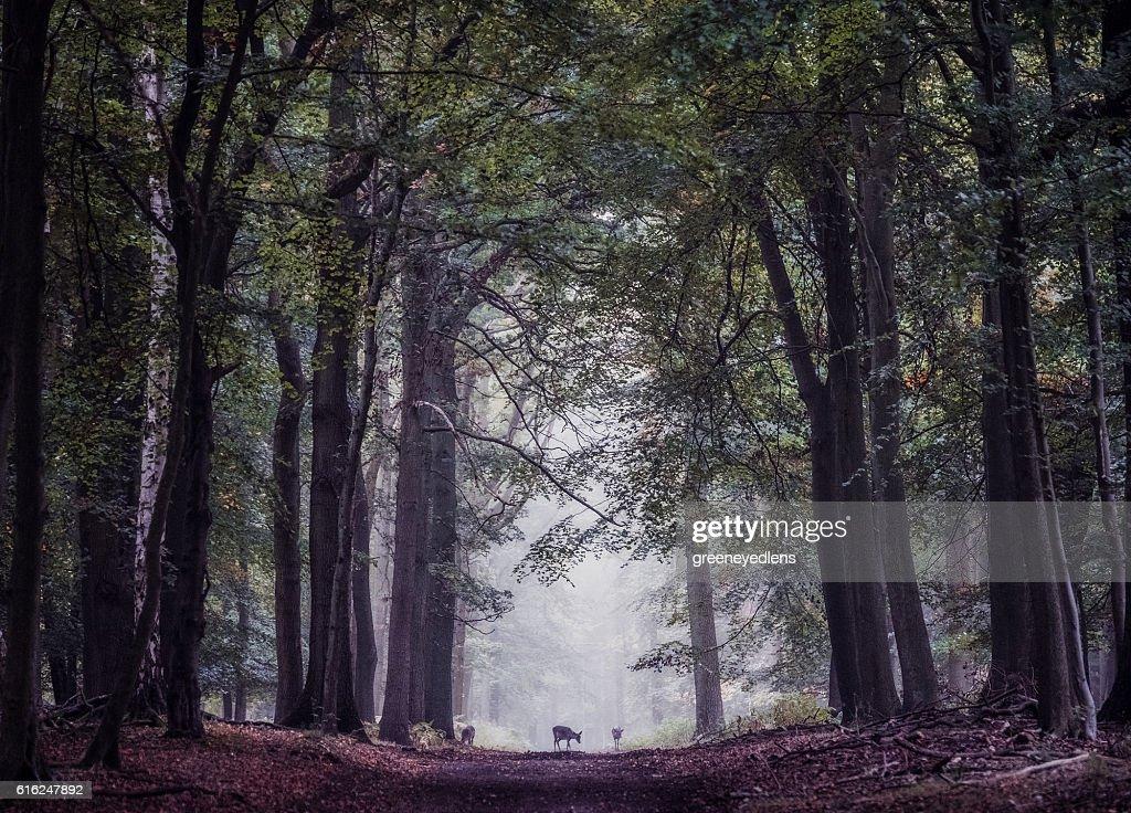 Deer on woodland path : Stock Photo