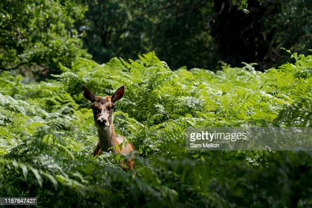 Deer peers from the fern in Richmond Park as record temperatures soar across England on the 25th July 2019 in Richmond in the United Kingdom. The Met...