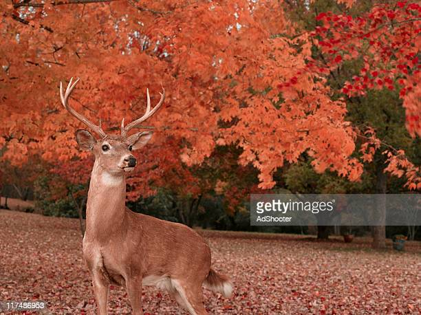 deer - white tail buck stock photos and pictures