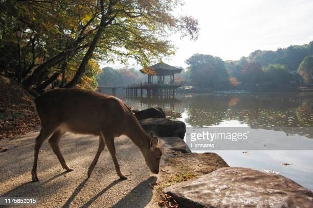 a deer - 奈良市 ストックフォトと画像
