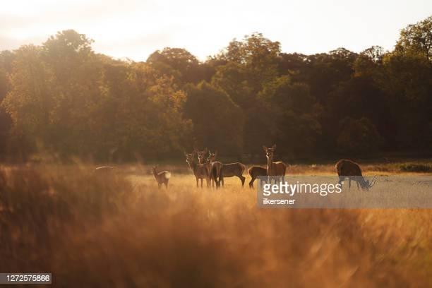 cervo - fauna selvatica foto e immagini stock