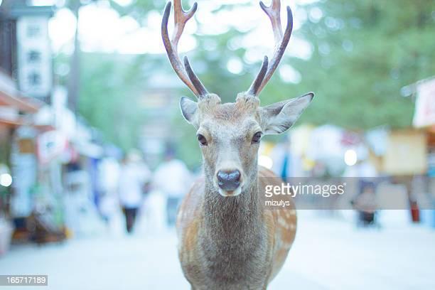 deer - 奈良市 ストックフォトと画像