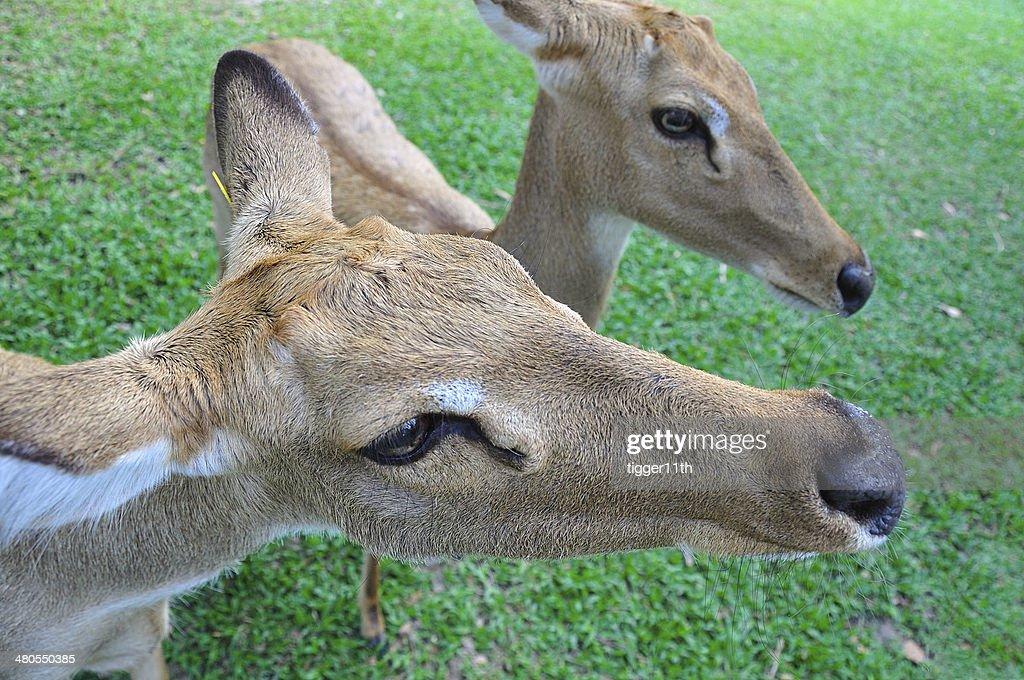 Deer (pestañas-antlered) : Foto de stock