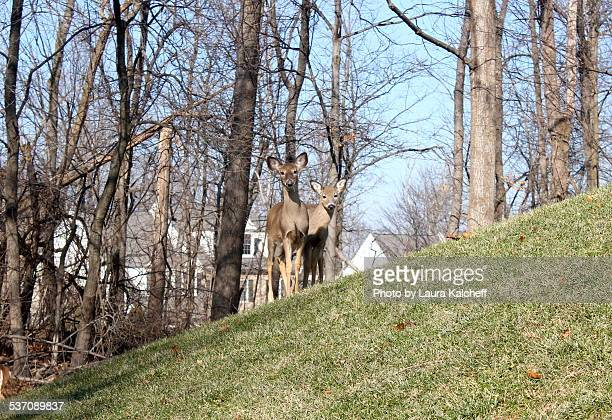 deer - laura woods stock pictures, royalty-free photos & images