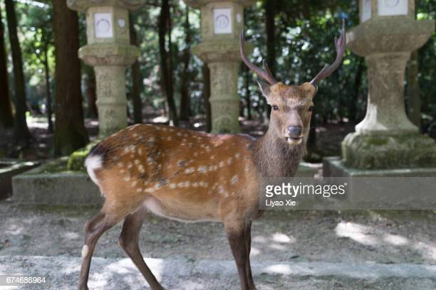 deer - liyao xie stock pictures, royalty-free photos & images