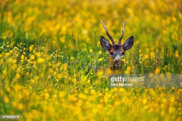 deer - chevreuil photos et images de collection