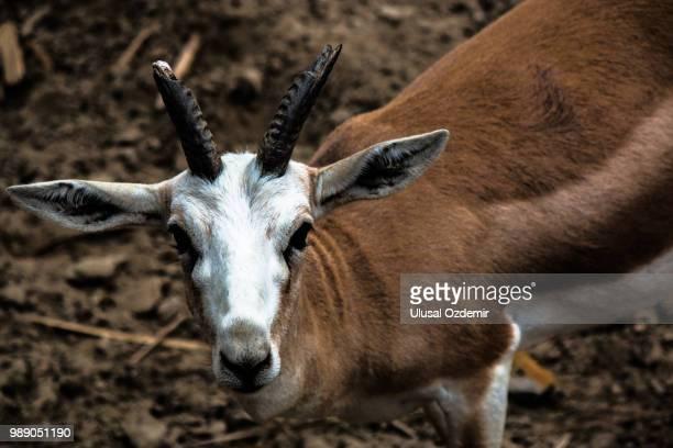 deer - springbok deer stock photos and pictures