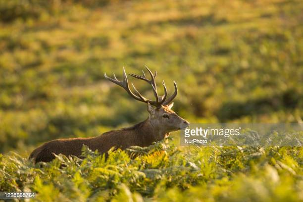 Deer pictured during Rutting season at Bradgate Park, Leicestershire, England, on September 20, 2020.