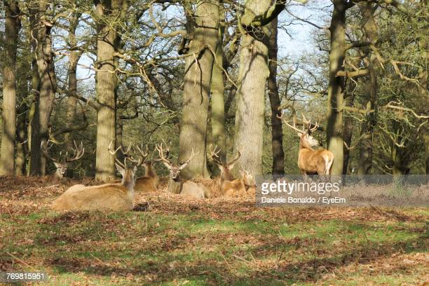 Deer Relaxing On Field In Forest