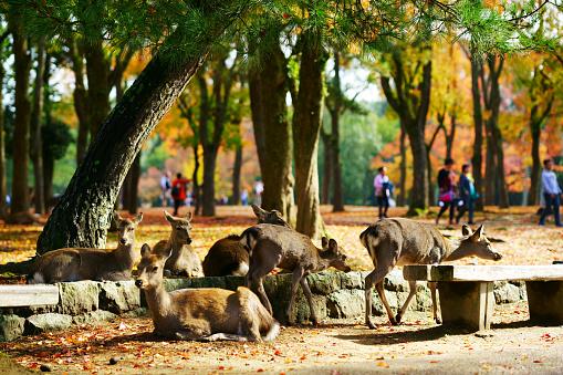 Deer roam freely in the Nara park complex 1149937103