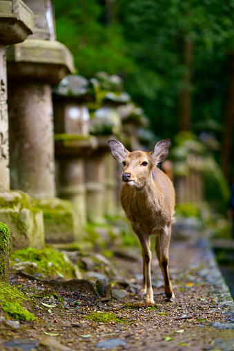 Deer roam freely in the Nara park complex 1149937128